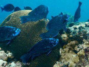 FL_Keys_Marathon_School_of_Blue_Parrotfish_72dpi.jpg